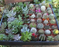 6 Succulent & Cactus Collection Awesome for by SANPEDROCACTUS