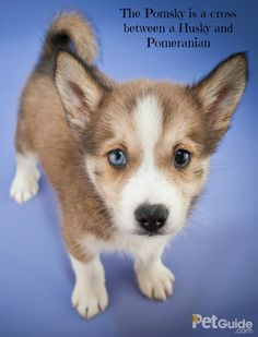 The super cute Pomsky is highly intelligent, loving, playful and self-assured.