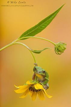 Tree frog on coreopsis | Flickr - Photo Sharing!