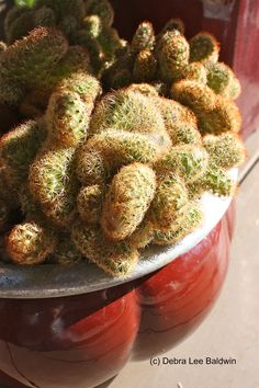 A crested cactus, Mammillaria elongata