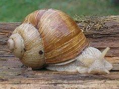 Weinberg Schnecke (snail)