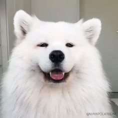 japanese spitz and chow chow / chow spitz . chow chow x japanese spitz . japanese spitz and chow chow . Super Cute Animals, Cute Little Animals, Cute Funny Animals, Funny Dogs, Fun Funny, Cute Baby Dogs, Cute Dogs And Puppies, Doggies, Tierischer Humor