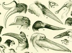 1897 Les Becs d'Oiseaux Illustration Ancienne Planche Originale Larousse 115 YEARS OLD