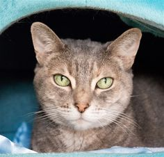 Woods Humane Society; SLO, CA <3 12 yrs, 9 lbs. My name is Lottie. I have to tell you that I have a very unique personality. I'm what you would classify as an independent lady. I'm the type of cat who wants to do her own thing and spends majority of her time lying in places where I'm unseen and feel safe. I can tell you right now that I need patience when I get into a new home. I want a quiet home where there's not a lot of hustle and bustle going on and I can keep to myself. I'll enjoy…