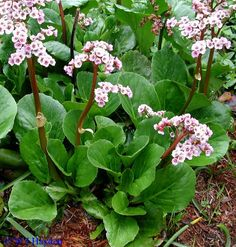 Perennials for Shade and autumn flowering perenials - Horticulture ...