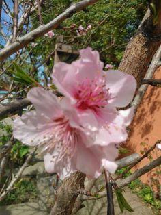 Belleza!!! La flor. del melocotonero.