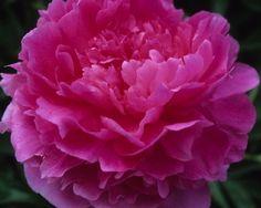Vivid Rose - Late Lactiflora, double, pink large, flowers, fragrant, dark green foliage,  good grower, it belongs on the `good` list of well paid cutflowers, (C. G. Klehm 1952).  www.peonyshop.com