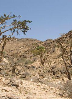 Frankincense trees growing wild on the limestone hillsides, Dhofar Mountains, Salalah, sou...