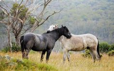 Wow!!! There are storms then there are storms.... The mountains got absolutely pounded last night, fallen trees and debris absolutely everywhere. That of course, stands for very tired and wet Brumbies. However there is nothing like a bit of mutual grooming on that special spot to reassure a youngster that all is ok. Photo Copyright to Carol Hancock.