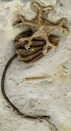 #Fossil -  #Crinoid calyx, stem & holdfast.