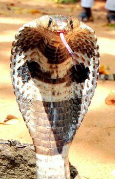 Cobra. I had a street beggar throw one in front of me in Sri Lanka. Made me jump!