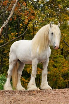 Shire horse - stands up to 20 hands tall, not to be confused with the Gypsy Vanner which is only 13-16 hands tall.