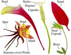 Columbine flower parts - Google Search
