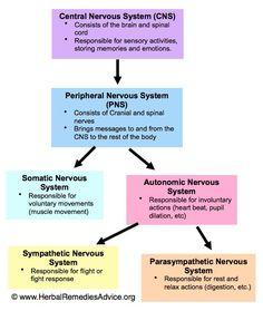 Central nervous system study stuff pinterest central nervous structure of the nervous system ccuart Choice Image