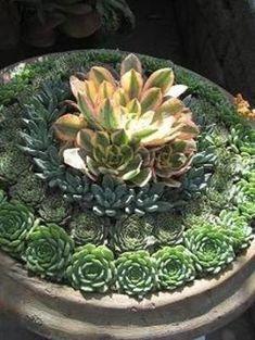 Aeonium 'Sunburst', Pachyveria 'Haagai', Sempervivum tectorum, and Echeveria 'Kircheriana' are the succulents used in concentric circles in this bowl. by Divonsir Borges