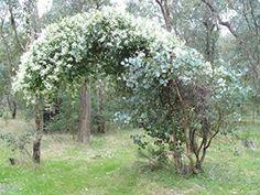 Clematis, Beard Names, African Plants, Australian Plants, Climbers, Western Australia, Bearded Men, Vines, Coastal