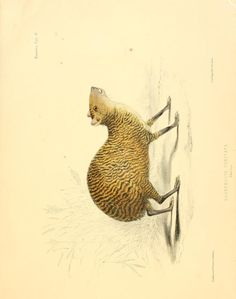 The zoology of the voyage of H. Sulphur : under the command of Captain Sir Edward Belcher, during the years / Vol illustrations by John Gould Uncle Ben, John Gould, Science Illustration, Zoology, Mammals, Wildlife, Illustrations, Antiques, Drawings