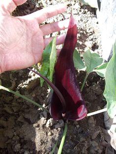 Devil's Tongue Lily