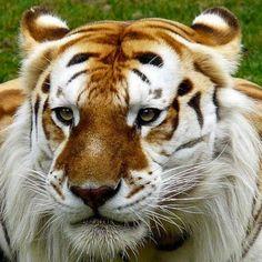 #Золотой #тигр - это самое #необычное #явление среди тигров. За присущую им #красоту и неимоверное хладнокровие тигров называют величественными животными. К редко встречающимся особям #белого цвета относятся с особым почтением. Лишь немногим людям известно о том, что существует еще более редкая разновидность в виде золотых тигров, шанс встречи с которыми в дикой природе практически равен нулю. На текущий момент в заповедниках проживают лишь три десятка хищников #уникальной #окраски…