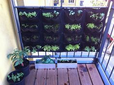 A vertical balcony vegetable garden. And trust me, it's great to eat your own lettuce.