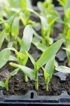 Strengthen seedlings by starting them in flats before planting them in your garden.