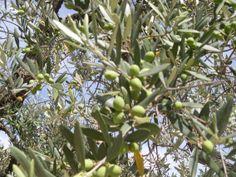 Hoy preludio del puente os deseo que paséis un feliz fin de semana largo y os dejo una fotografía de las oliveras de Crivillén que algunos visitaremos estos días para RECOGER LAS ACEITUNAS