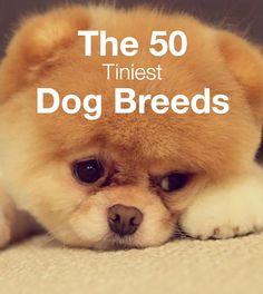 50 Tiniest Dog Breeds found on PetBreeds.com