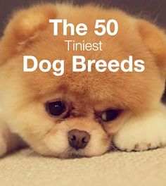 50 Tiniest Dog Breeds found on PetBreeds.com