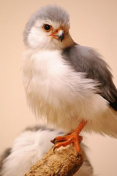 Pygmy Falcon photo by delecouri