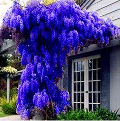 10 samen/pack. HEIßER VERKAUF NEUE BLAUE Glyzinien Baum Samen Indoor Zierpflanzen Samen Glyzinien Blumensamen, schöne ihre gardon
