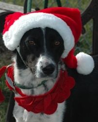 Cindy Lou is an adoptable Beagle Dog in Hillsboro, IL. Ho Ho Howdy! I'm Cindy Lou, a sweet-natured friendly little dog who really would like a new home soon! I'm small, only 23 lbs., and I look like a...