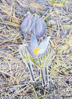 """The Pasque Flower is the South Dakota state flower. Each year, the first sightings of pasque flowers foretell spring """"Awakening"""" in the forest. Jon and Gail often find these waiting for them as they return home from Baja. Watercolor Flowers, Watercolor Art, Spring Sign, Flower Images, Love Art, Art Projects, Project Ideas, New Art, Flower Power"""
