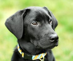 Black Lab  looks like <3 Oscar <3