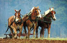 Three horses pulling.