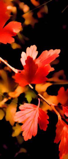 """""""Autumnal Scarlet"""" by Barbara Pates,."""