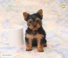 Dominic - Yorkshire Terrier Puppy for Sale in Bird In Hand, PA - Yorkshire Terrier - Puppy for Sale