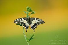 The Old World Swallowtail by Mariann Rea on 500px