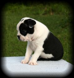 Cutest Boston Terrier ever!