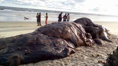 Checkout the carcass of a dead whale seen at a beach in Akwa Ibom state[PHOTOS]   The body of a whale has been found on a beach in Okpa Ita Akwa Ibom state  off the Atlantic Ocean.  The dead whale was found by villagers on September 15 morning a biodiversity conservationist from the University of Uyo Edem Eniang told Premium times. He said residents of Okpo Ita in Ibeno local government area of the state had already started cutting some body parts of the 16 meters long whale for use as meat…