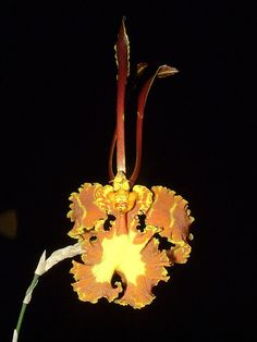 Most beautiful orchids: Psychopsis papilio Moth Orchid, Orchid Plants, Exotic Plants, Orchids, Orchid Flowers, World's Most Beautiful, Beautiful Flowers, Orchidaceae, Yellow Flowers