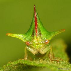 Treehopper, Alchisme grossa from Mindo - Ecuador: www.flickr.com/andreaskay/sets/72157647048803981