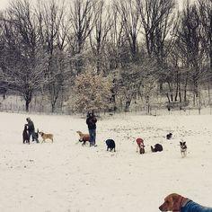 A beautiful winter wonderland during park play this morning in Prospect Park! #evasplaypups #dogs #parkplay #playtime #letitsnow #winterwonderland #dogsinnature #runfree #prospectpark #brooklyn #nyc