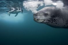 leopard seals have a reputation for being one of the most vicious predators in the sea but photographer paul nicklen was befriended by a leopard seal who was patrolling a penguin rookery near anvers island, antarctica. National Geographic Photography, Wildlife Photography, Wild Life, Beautiful Creatures, Animals Beautiful, Wild Nature, Underwater World, Leopards, Marine Life