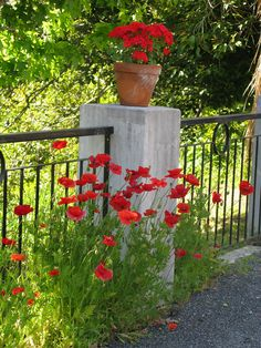Poppies and geraniums NZ