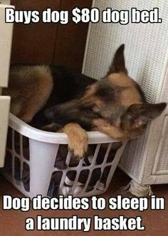 Have a german sheperd like this we bought him a $40 bed and he sleeps on the floor!!!