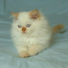 Flame Point Himalayan 1000+ images about Him...