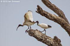 Australian White Ibis, Reedy Lakes, Kerang Pentax K-3, Sigma 300mm f/2.8, ISO 400, f/5.6 1/800 (Polariser) January 2015