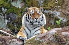 """...conservationists with limited resources may want to channel their efforts on saving the tiger, a species that is at the tipping point and could have reasonable chance of survival. (Credit: Copyright Juliane Riedl)"