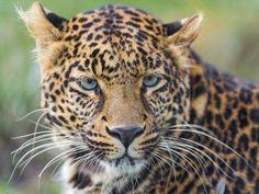 ヒョウ、野生の猫、ウィスカー、目、肖像画 壁紙 - 2560x1920