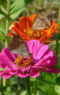 Zinnia is a great way to attract butterflies to the garden.  Easy to grow from seed or buy in flats from the garden center <3  Bloom all summer long right up to the 1st frost